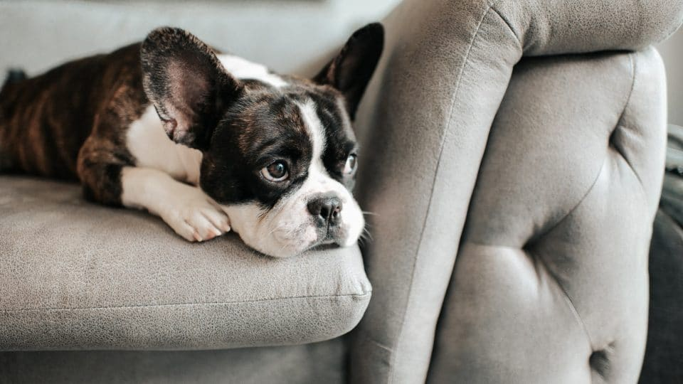 anxious looking boston terrier puppy on a sofa
