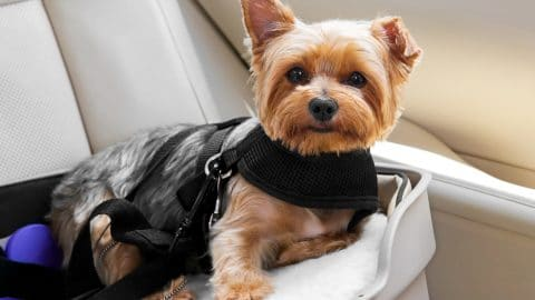 yorkie in a car harness