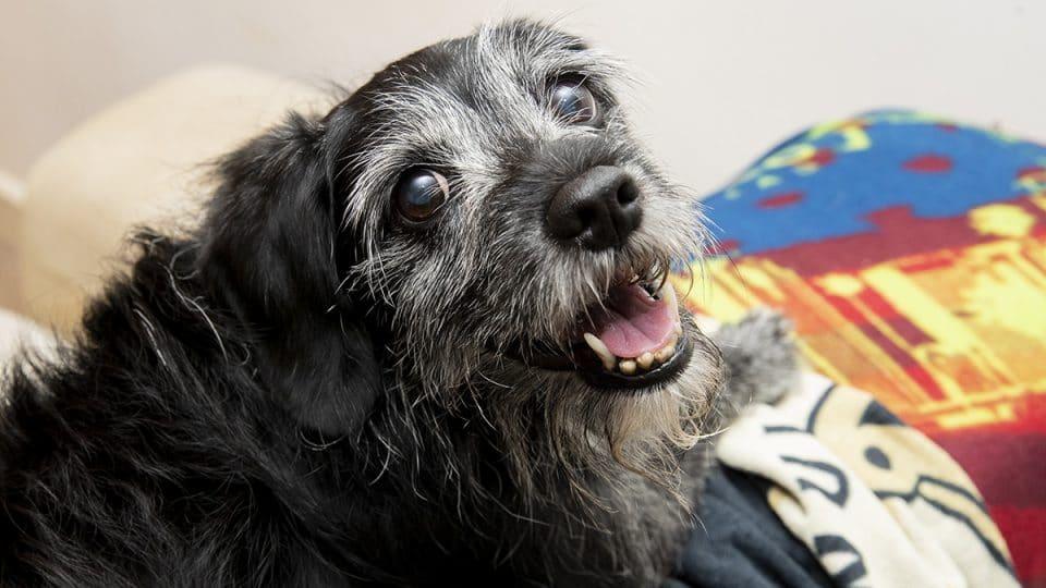 older dog looking at camera