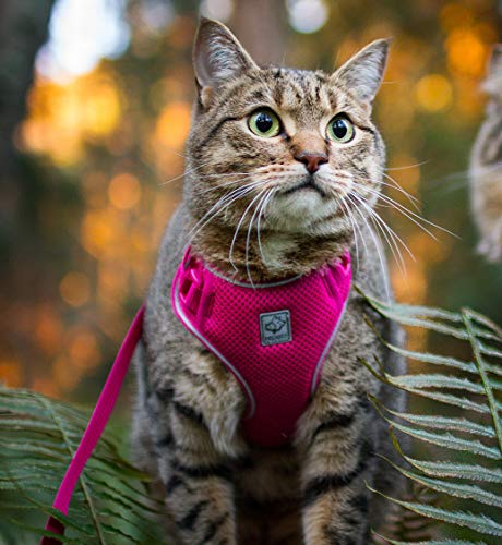 gray striped cat in pink harness