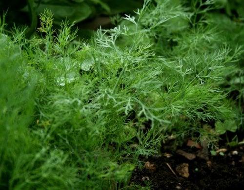 dill, a dog-safe herb