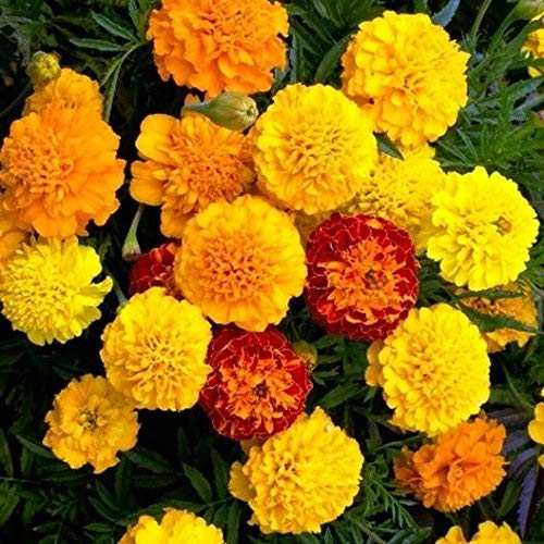 garden marigolds