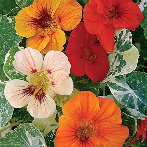 nasturtiums, a dog-safe and edible plant