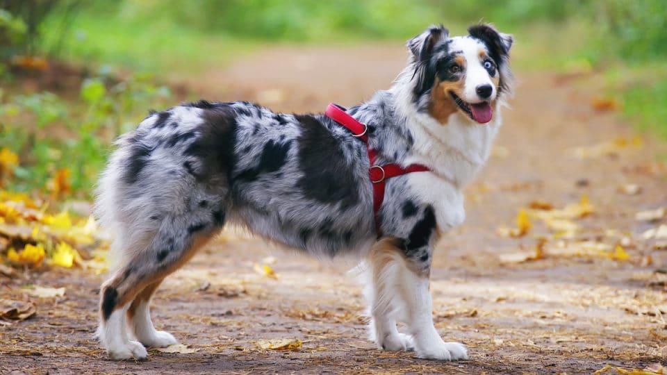 Australian Shepherd dog wearing red harness