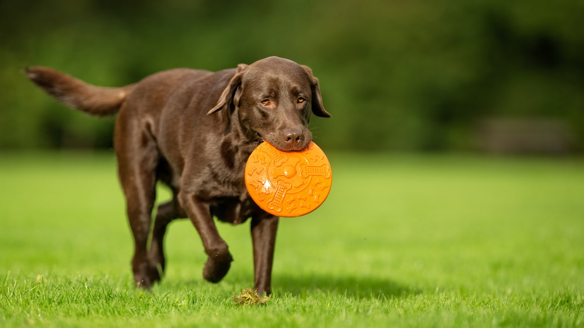 The 12 Best Dog Toys for Labs