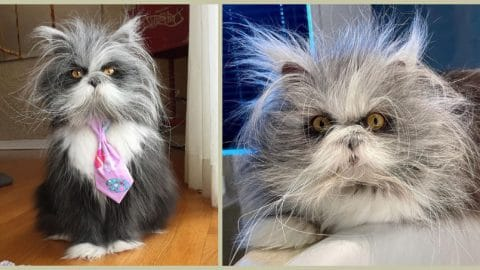 atchoum the cat who looks like a werewolf