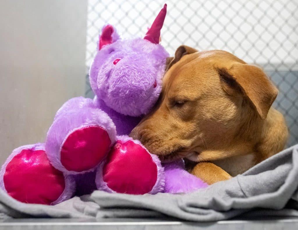 Sisu snuggling with his purple unicorn