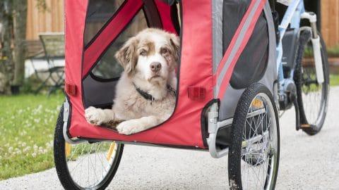 dog in bike carrier/trailer