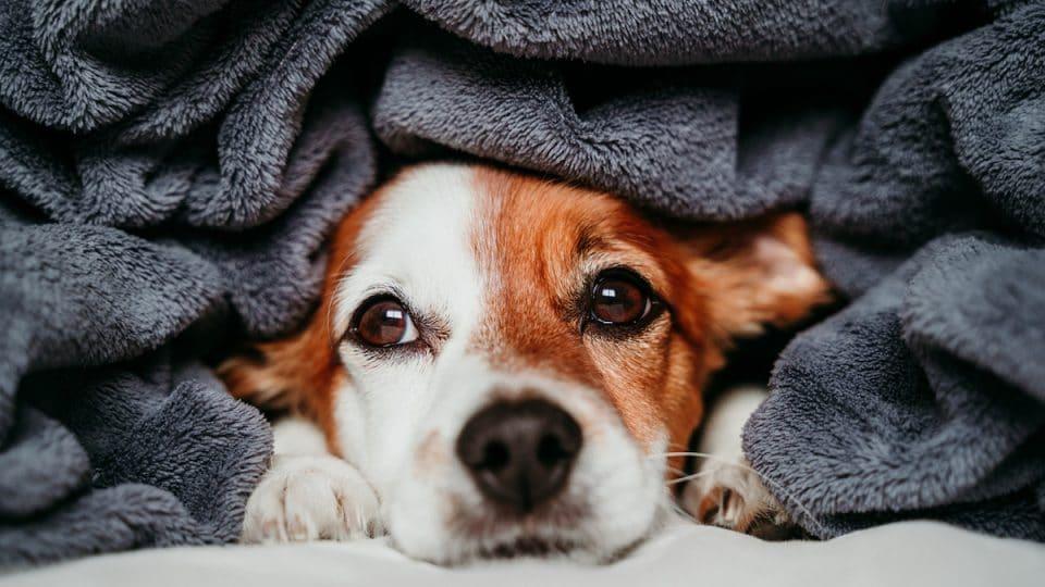 dog peeking from under blanket
