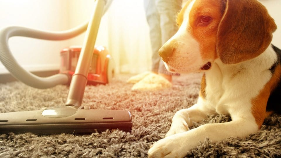 beagle watching the carpet being vacuumed