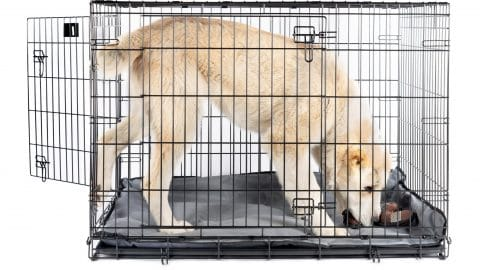 large white dog in a crate