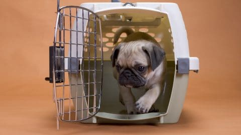 pug stepping out of a hard shell travel crate