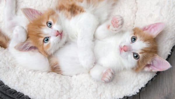 kittens in bed