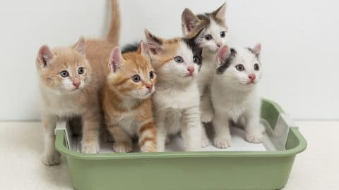 kittens in kitten litter box