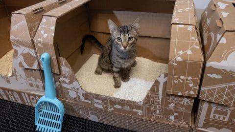 kitten using Kitty Poo Club litter box