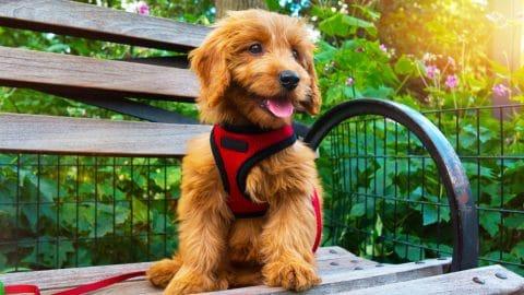 small dog wearing harness