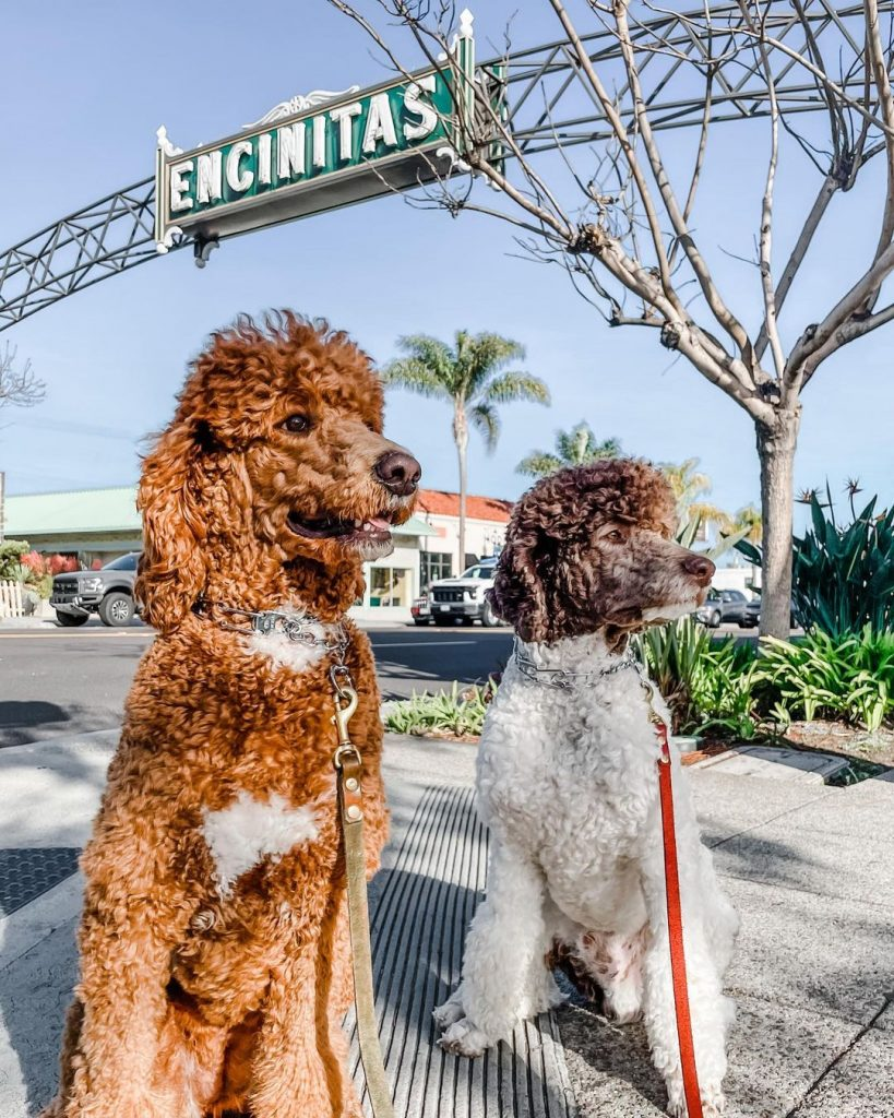 Two groomed dogs in California