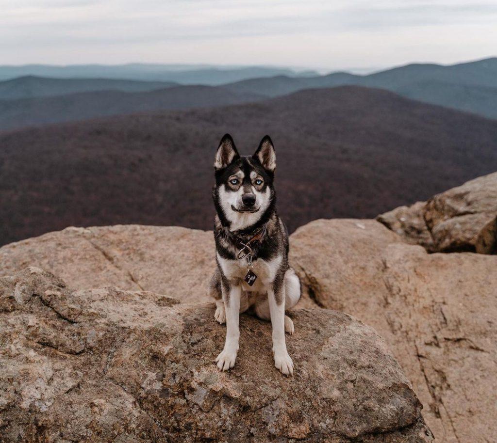A Siberian Husky on a cliff, hiking.