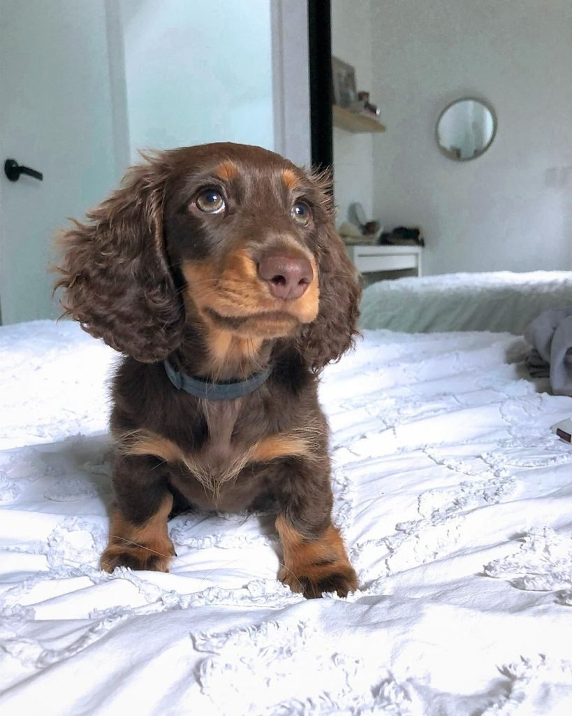 A cute wiener dog puppy on a bed