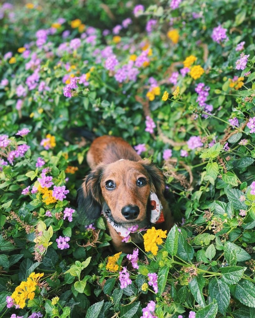 A long-haired, brown dog in the flower bushes