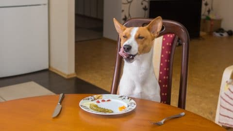 table scraps are not dog food for pancreatitis