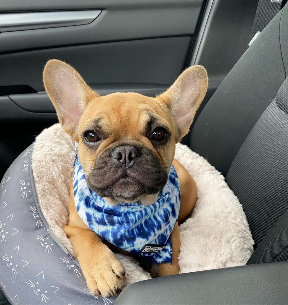 A cute Frenchie in his bed
