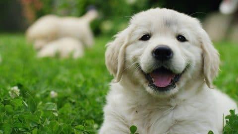 cute golden retriever puppy in the grass