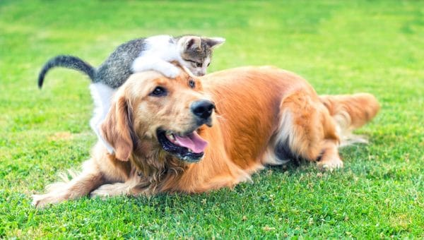 grey and white kitten climbing on a golden retriever on the family lawn