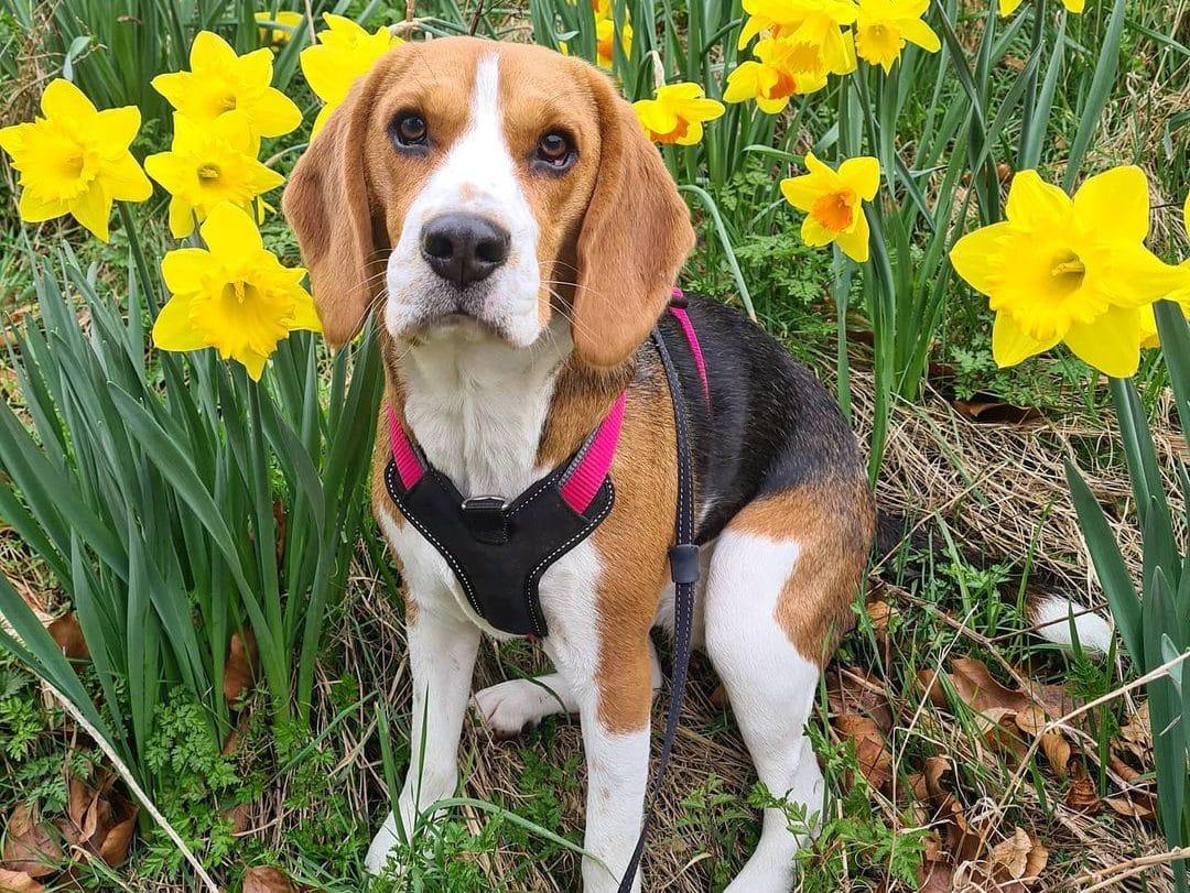Luna the dog in a field of daffodils