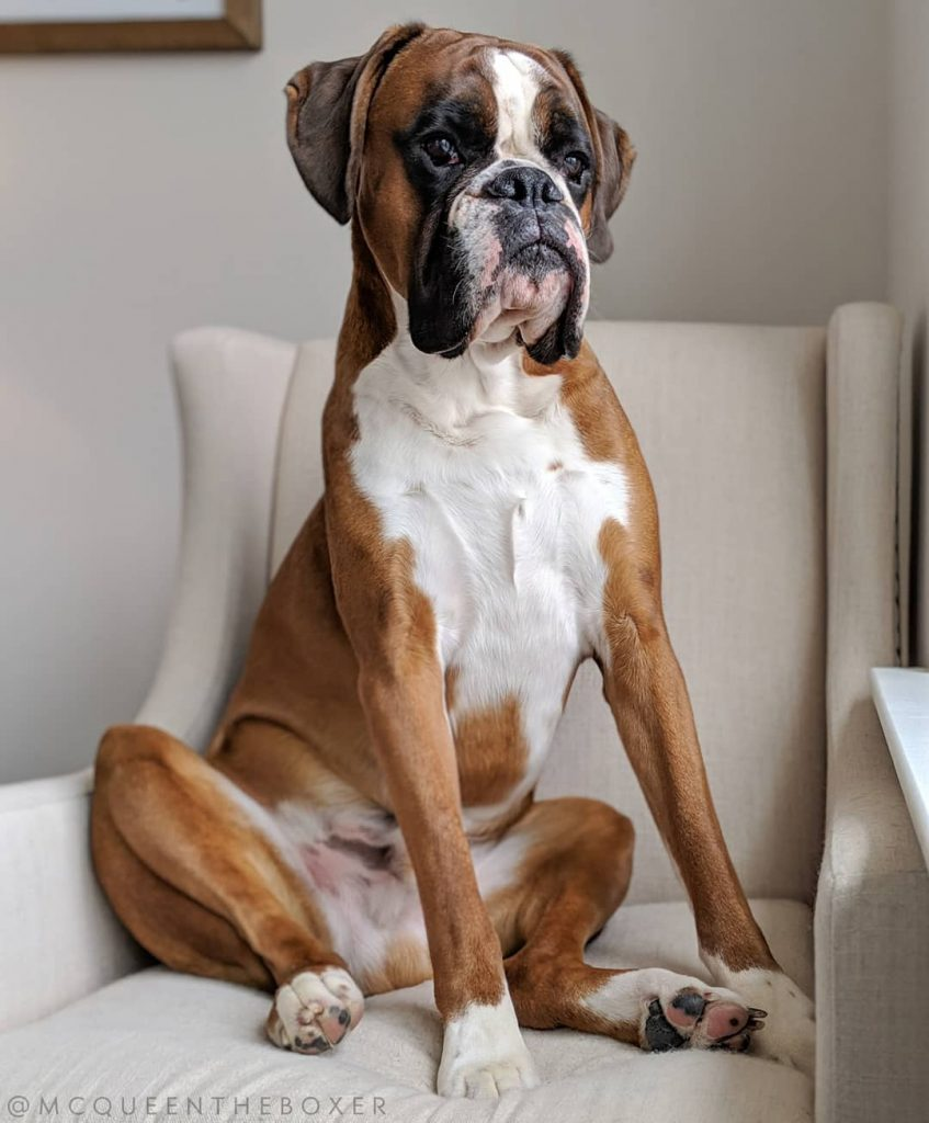 A Boxer sitting upright on a regal chair