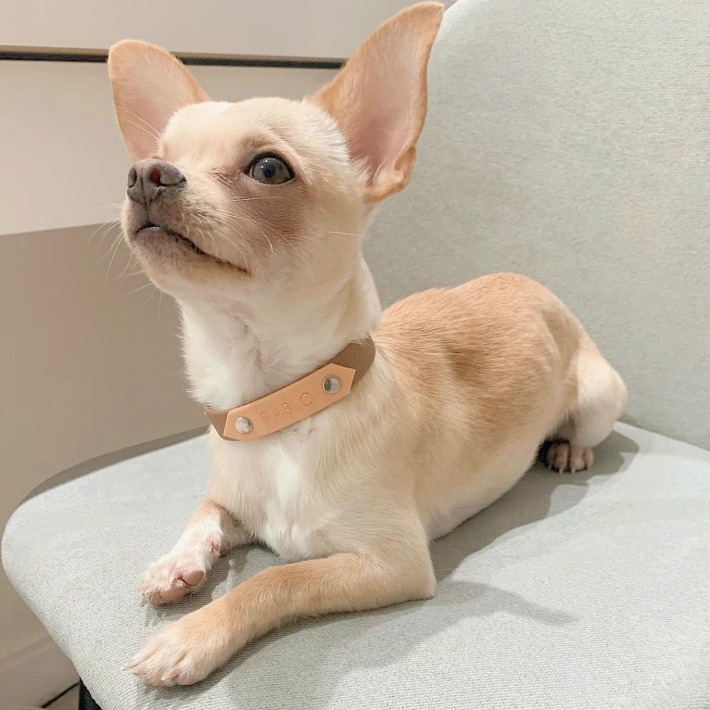 A light brown chihuahua on a couch.