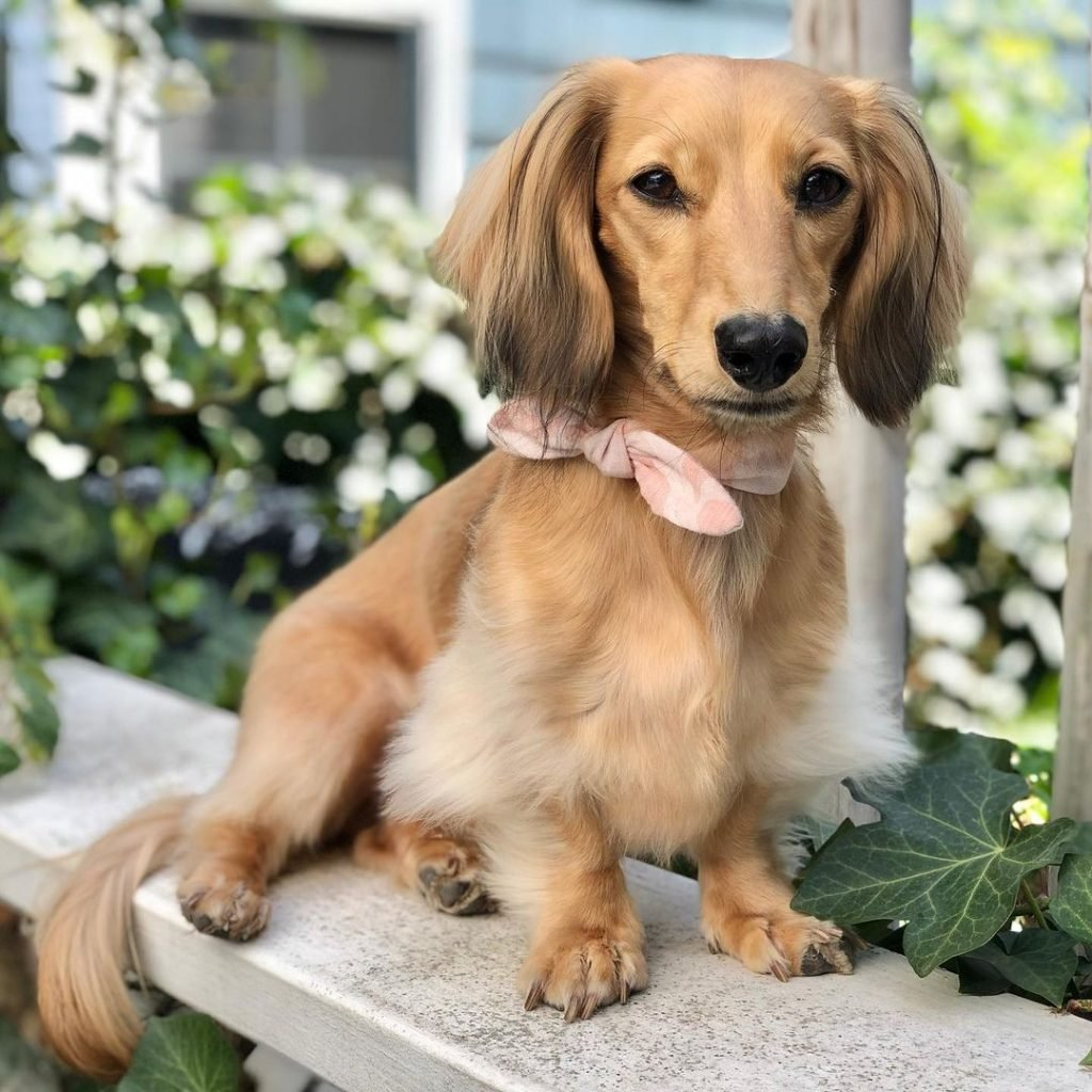 A beautiful Dachshund with a neck tie.