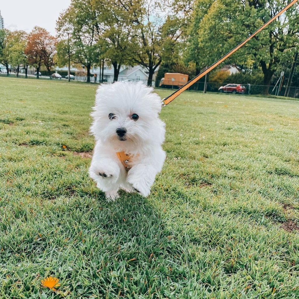 Tofu, the Maltese dog, playing in the grass