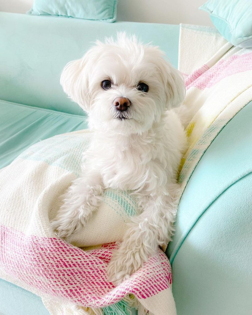 A snuggly white dog on a couch