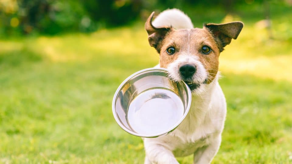 energetic terrier carrying an empty steel bowl