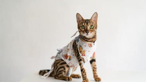 Bengal cat in a medical bandage