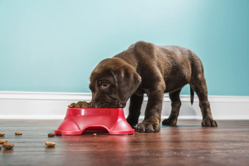 cute chocolate lab puppy eating kibble from a red food dish
