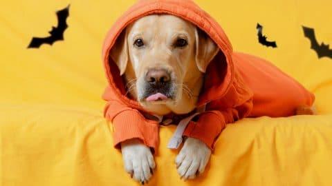 Lab in orange hoodie; behind him bats on yellow background