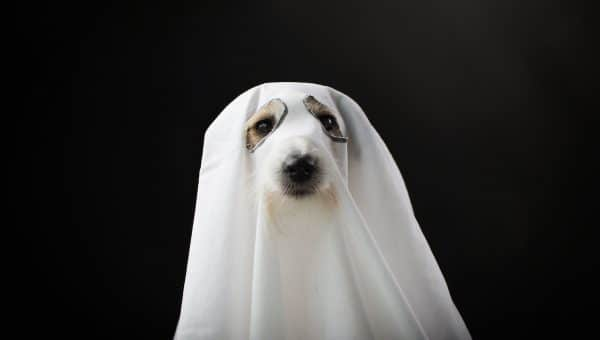 Dog in sheet with eye holes against dark background