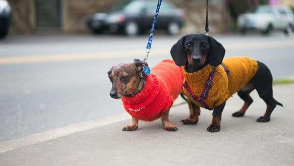 two dachshunds in sweaters on leash
