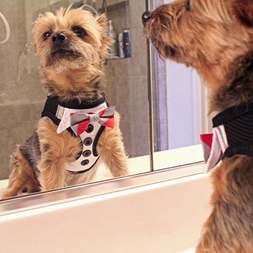 dog looking at itself in bathroom mirror wearing Doggie Design Tuxedo Dog Harness with buttons at chest and bowtie
