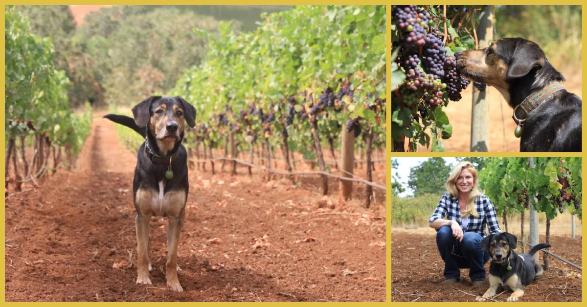 "Indiana ""Indy"" Jones Eberle, winery dog at Yamhill Valley Vineyard"