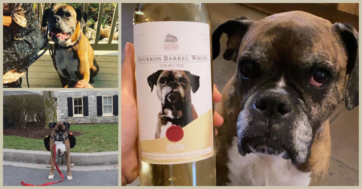 Soda Pup the Wine dog at Stonehaven Winery