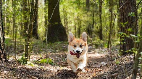 corgi running in the woods