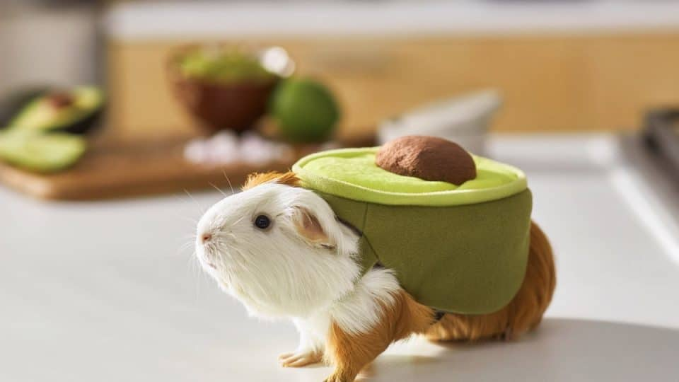 Guinea pig in avocado costume on counter