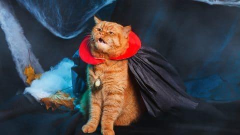 Ginger cat vampire on black background