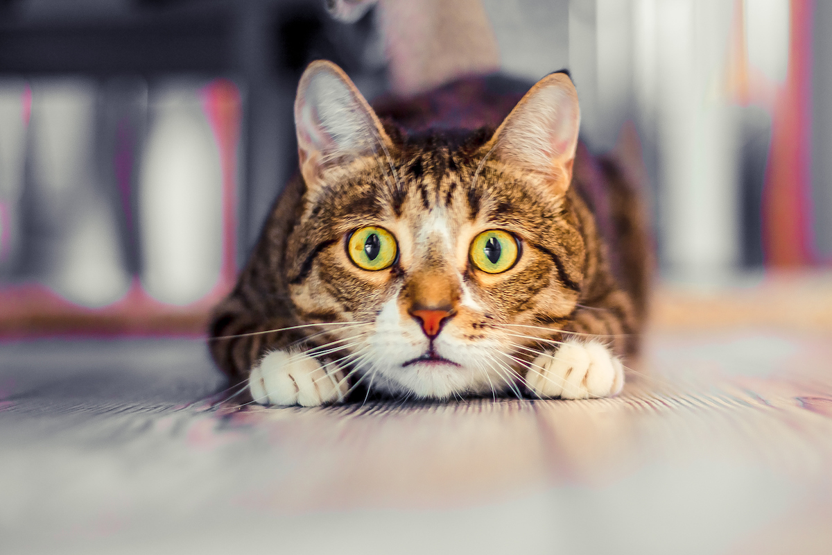 surprised tabby cat stares straight ahead