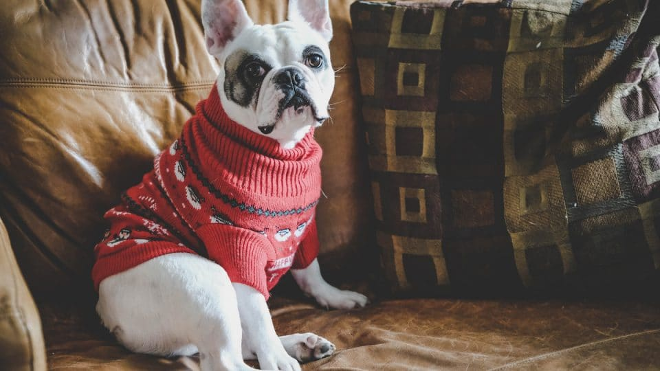 French bulldog wearing sweater on leather couch