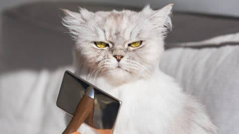 Persian cat being groomed