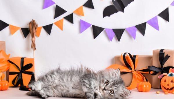 Fluffy gray cat lies amid Halloween decorations